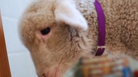 Lamb Wallpaper High Definition