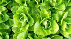Lettuce Wallpaper 1080p