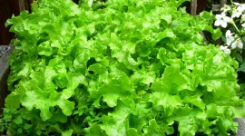 Lettuce Wallpaper Background