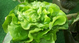 Lettuce Wallpaper Gallery