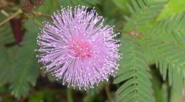 Mimosa Pudica Photo Download