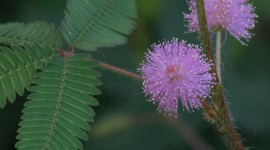 Mimosa Pudica Photo Free