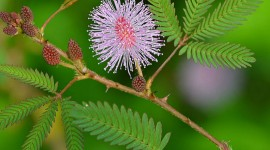 Mimosa Pudica Wallpaper Download
