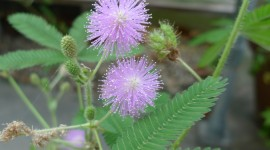 Mimosa Pudica Wallpaper For Mobile