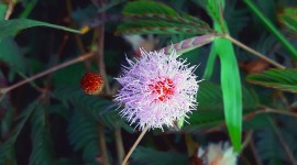 Mimosa Pudica Wallpaper For PC