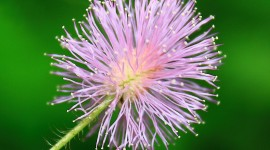 Mimosa Pudica Wallpaper Full HD#1