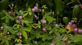 Mimosa Pudica Wallpaper Gallery