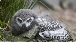 Owl Sleepy Photo
