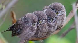 Owl Sleepy Photo Download