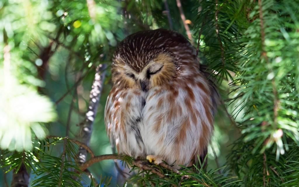 Owl Sleepy wallpapers HD