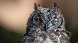 Owl Sleepy Wallpaper 1080p