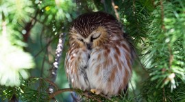 Owl Sleepy Wallpaper