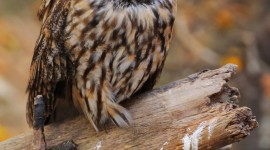 Owl Sleepy Wallpaper For Android