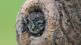Owl Sleepy Wallpaper For PC