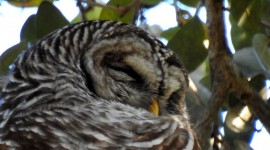 Owl Sleepy Wallpaper Free