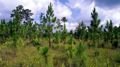 Pinus Palustris wallpapers high quality