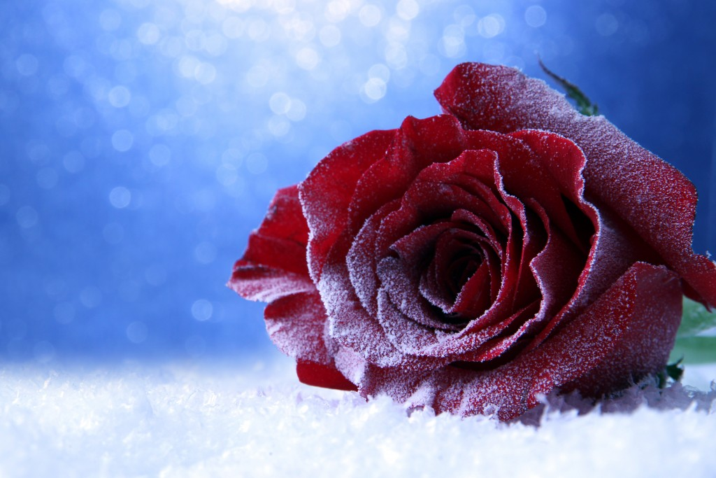Roses In The Snow wallpapers HD