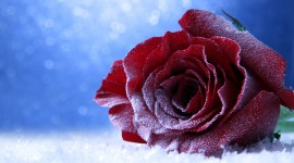 Roses In The Snow Best Wallpaper