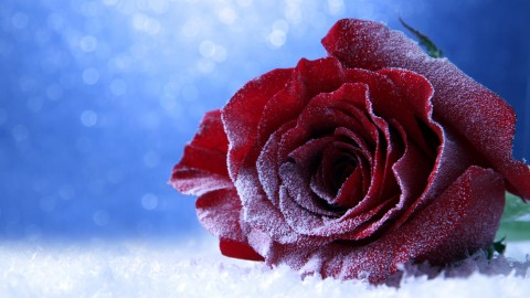Roses In The Snow wallpapers high quality