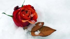 Roses In The Snow Desktop Wallpaper
