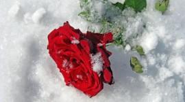 Roses In The Snow Desktop Wallpaper For PC