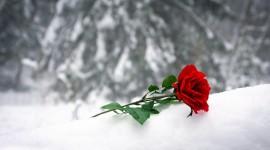 Roses In The Snow Desktop Wallpaper HD