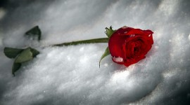 Roses In The Snow Image Download