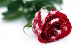 Roses In The Snow Photo