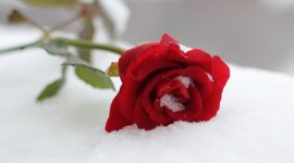 Roses In The Snow Photo Download#1