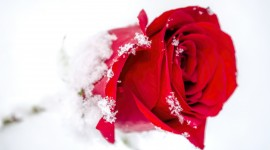 Roses In The Snow Photo Free