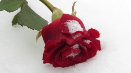 Roses In The Snow Photo Free#1