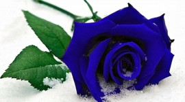 Roses In The Snow Wallpaper
