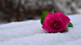 Roses In The Snow Wallpaper Download