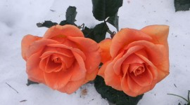 Roses In The Snow Wallpaper For Desktop