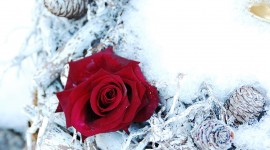 Roses In The Snow Wallpaper For PC
