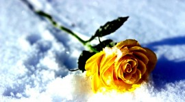 Roses In The Snow Wallpaper Free