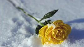 Roses In The Snow Wallpaper Full HD
