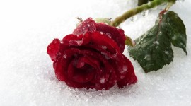 Roses In The Snow Wallpaper Full HD#1