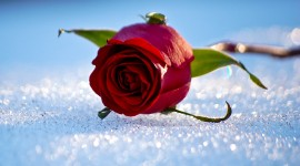 Roses In The Snow Wallpaper Gallery