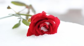 Roses In The Snow Wallpaper#1