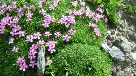 Silene Acaulis Wallpaper Download