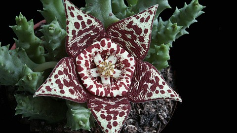 Stapelia wallpapers high quality