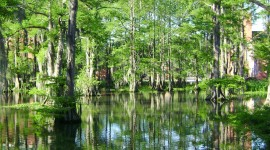 Swamp Cypress Desktop Wallpaper