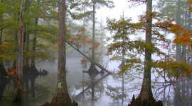 Swamp Cypress Photo
