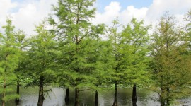 Swamp Cypress Photo Download#1