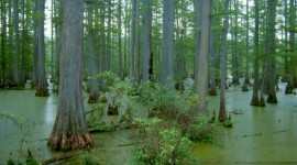 Swamp Cypress Photo Free#1