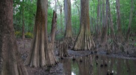 Swamp Cypress Photo Free#2