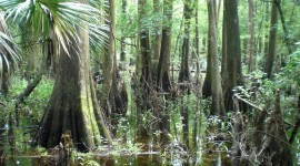 Swamp Cypress Photo#1