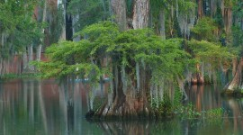 Swamp Cypress Wallpaper