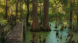 Swamp Cypress Wallpaper Download